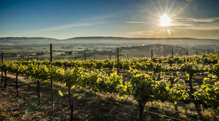 USA, Washington, Sunnyside. Morning light on Upland Vineyard on Snipes Mountain.