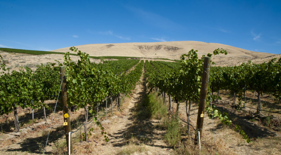 USA, Washington, Yakima Valley. Elephant Mountain vineyard in Yakima Valley.
