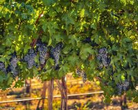 Yakima Valley's heat nets near perfect harvest