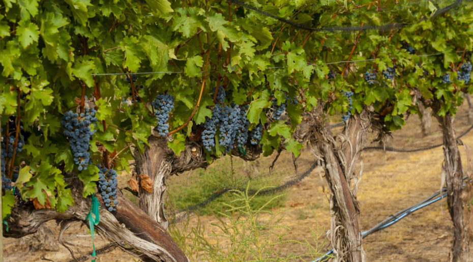 USA, Washington, Zillah. DuBrul Vineyard at Harvest 2015.