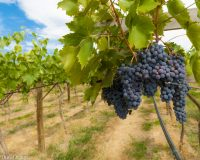 Mid-Season update from Paradisos del Sol Winery