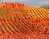 Harvest and Holidays at Dineen Vineyards