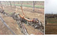 Yakima Valley vineyards in various stages of bud break