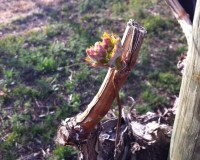 DuBrul Vineyard Five-Vine Cabernet bud break