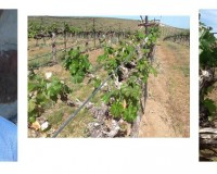 Yakima Valley vineyards see rapid shoot growth and pre-bloom