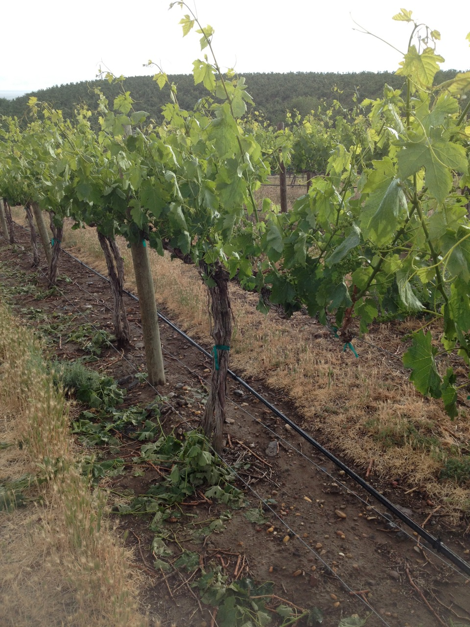 Shoot thinning at DuBrul Vineyard
