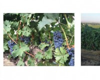 Yakima Valley's Five Vines in various stages of veraison