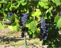 Award winning Zinfandel and Petite Sirah at Thurston Wolfe
