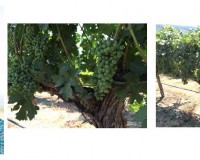 Next steps for the Five-Vines of the Yakima Valley