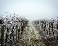 Cold temps create sustainable wine-growing