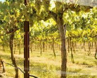 Washington Chardonnay grows in popularity